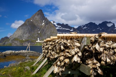 Traditional method of drying stockfish (typically cod fish) on Lofoten islands in Norway