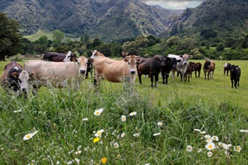 Grassfed New Zealand cattle are the primary source of Dr. Ron's Ultra-Pure organs and glands