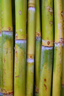 Glycolic acid is derived from sugar cane